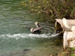 """The pelicans were taking turns """"catching a wave"""" out of this pipe."""