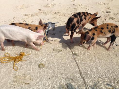 Piglets trying to help us raise dinghy anchor